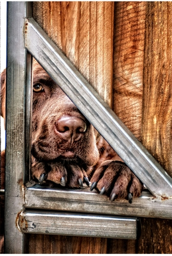 On Location – Chocolate Labrador