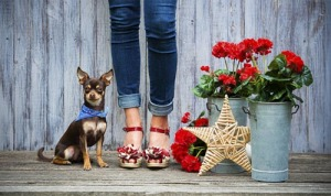 Chihuahua - PAWtraits Pet Photography Melbourne