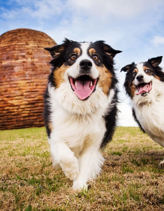 Dogs in Action – Australian Shepherds
