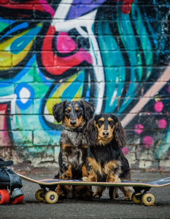 Photographing Adorable Dachshunds