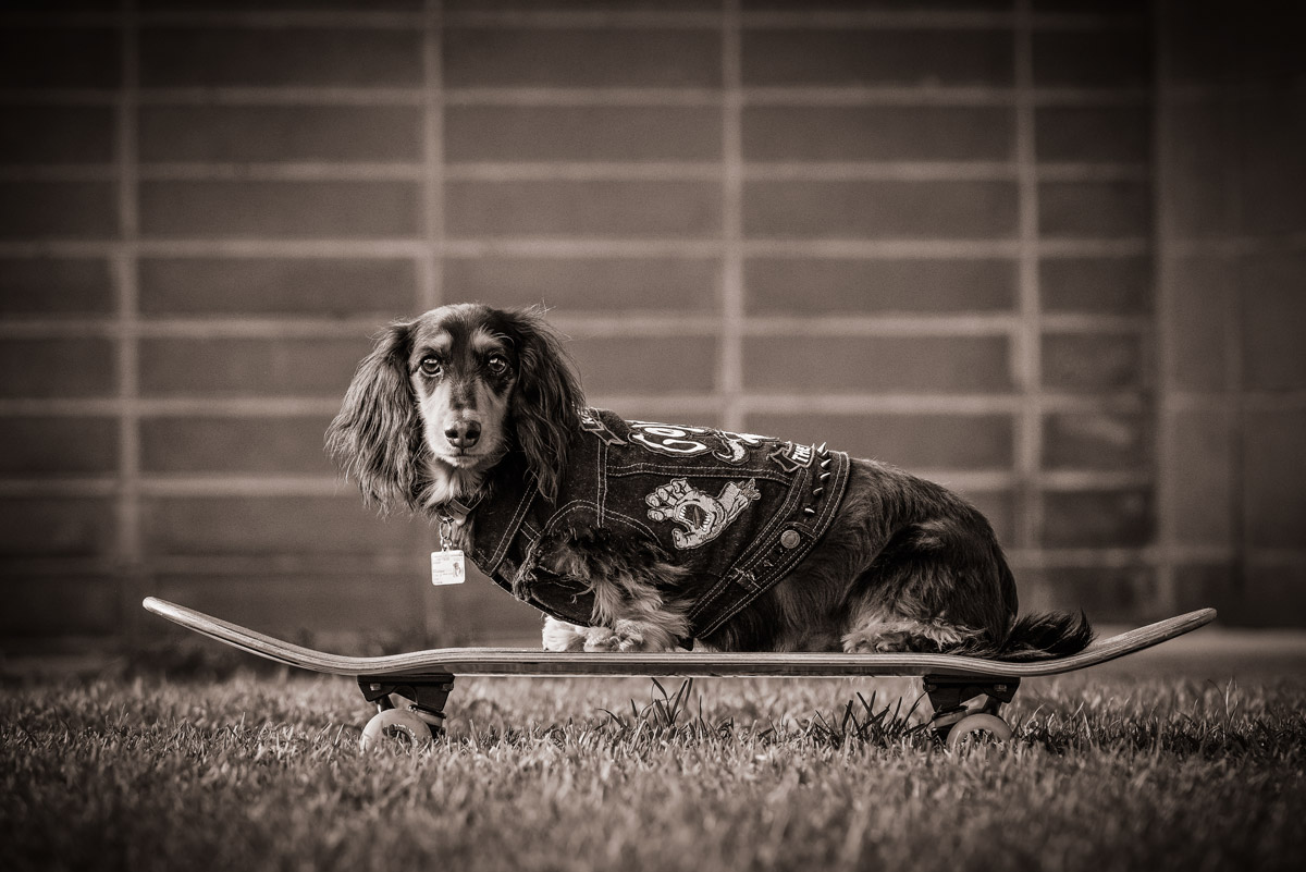 Dogs on skateboards - Photographing Dachshunds Melbourne