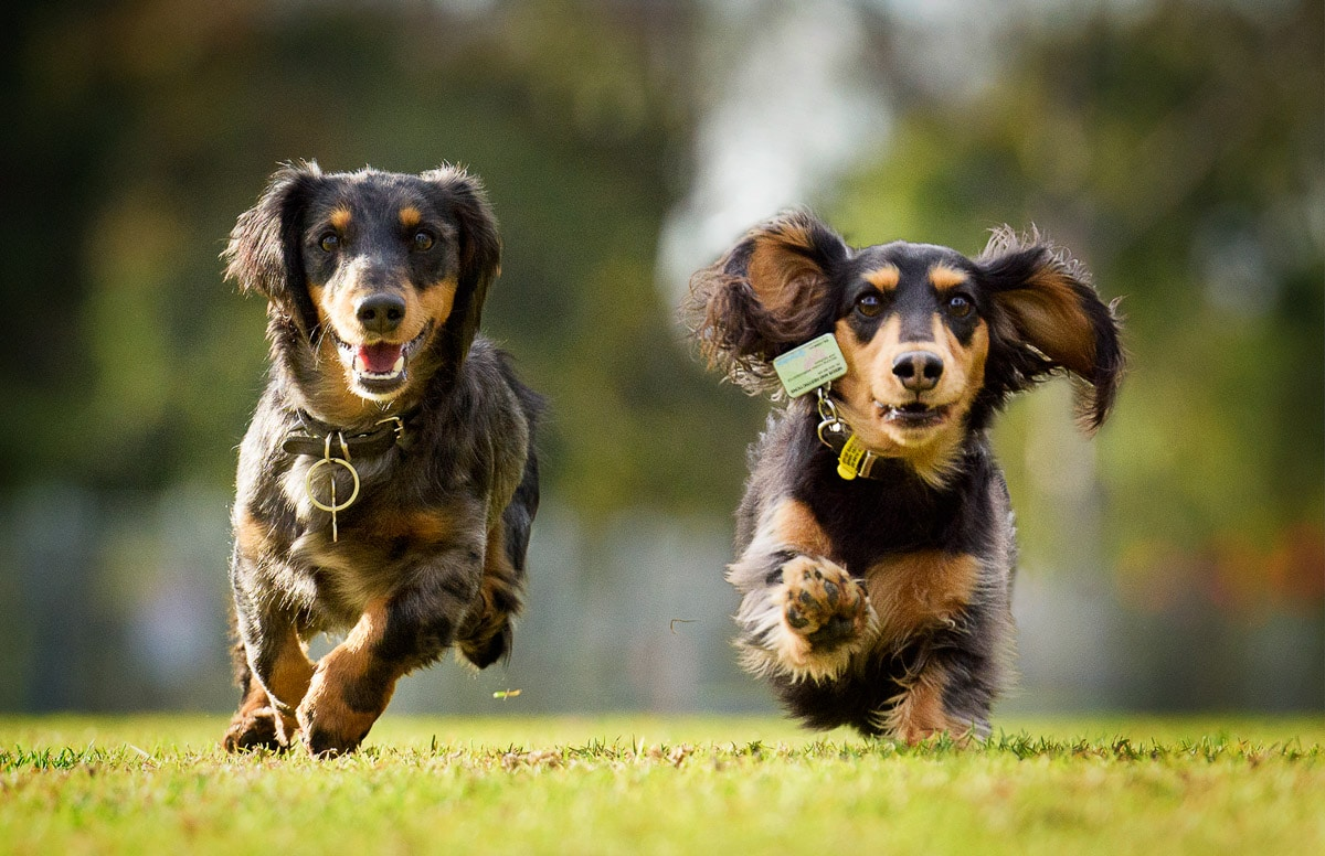 Dogs in Action - Photographing Dachshunds Melbourne